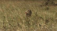 Cheetah Walking In The High Grass
