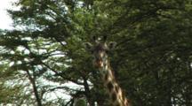 Giraffe Standing In The Shade