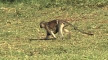 Vervet Monkey Walking In Lake Manyara NP