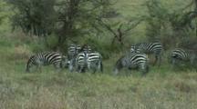 Zebra Grazing In Tarangire NP