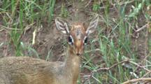Dik Dik Grazing In Lake Manyara NP