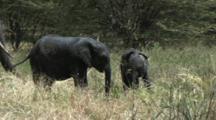 Elephant Family Feeding In Tarangire NP