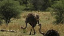Ostrich Standing And Walking In Serengeti National Park