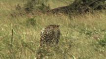 Cheetah Walking And Stalking Prey