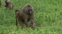 Royalty Free Primate Stock Footage