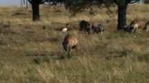 Spotted Hyena Walking In Serengeti NP