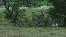 Zebra Grazing In Lake Manyara NP