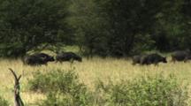 Herd Of Buffalo Running And Walking In Tarangire NP