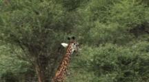 Giraffe Feeding In Tarangire NP