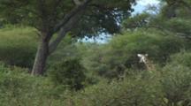 Giraffe Walking In Tarangire NP