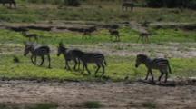 Zebra Walking Away From A River In Tarangire NP