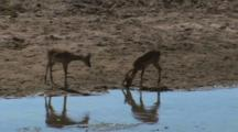 Impala Drinking From A River In Tarangire National Park