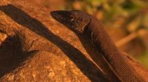 Monitor Lizard On Rock