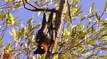 Flying Foxes resting in Mangroves