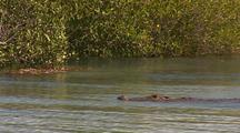 Saltwater Crocodile Leaving Beach Swimming Through Mangroves