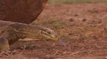 Sand Monitor Lizard looking for food