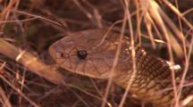 King Brown Or Mulga Snake