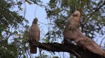 Corella in Tree