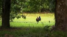 Australian Scrub, Bush Or Brush Turkey