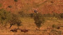 Cattle Muster With Helicopter, Kimberley