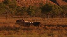 Cattle Muster With Helicopter And Jeep, Kimberley