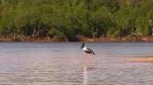 Black-Necked Jabiru Stork Wading Through Shallow Mangrove Flats, Kimberley