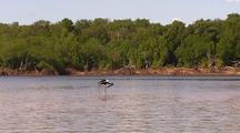 Black-Necked Jabiru Stork Wading Through Shallow Mangrove Flats, Kimberley