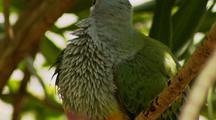 Superb or Rose-crowned Fruit Dove
