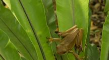 Green Tree Frog On Fern
