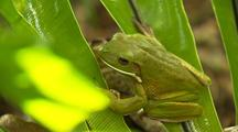 Green Tree Frog On Fern