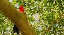 King Parrot, Male