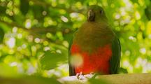 King Parrot, Female