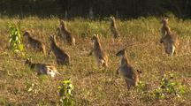 Wallaby Kangaroo