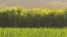 Sugarcane Fields & Harvesting