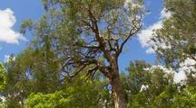Billabong Waterhole And Eucalyptus Gum Tree In River Landscape