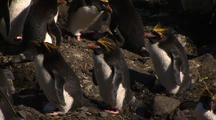 Macaroni Penguins With Yellow Feathers On Head In Nesting Colony