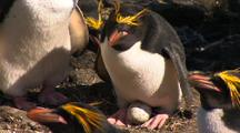 Macaroni Penguin With Yellow Feathers On Head Sitting On Egg In Nesting Colony
