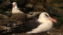 Black Browed Albatross Sitting On Nest