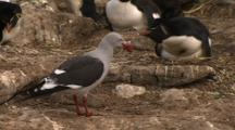 Predatory Gull Walking Through Rockhopper Penguin Colony Looking For Eggs To Eat