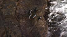 Rockhopper Penguins At Bottom Of Cliff Leap Into Waves
