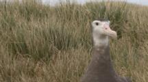 Juvenile Wandering Albatross Walks, Sits
