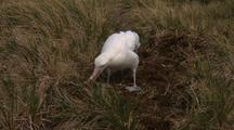 Wandering Albatross Courting & Nesting Behaviour