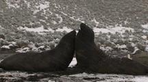 Juvenile Elephant Seals sparring in snow storm