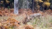 Deer In Autumn Forest Feeding On Plants