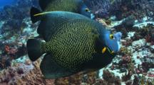 2 French Angelfish Swimming Over A Coral Reef