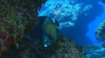 French Angelfish Swimming Between Coral Formations