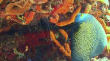 French Angelfish Swimming Over A Coral Reef