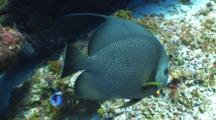 Gray Angelfish Swimming On A Coral Reef