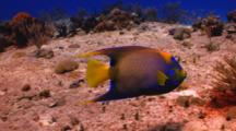 Queen Angelfish Swimming Over A Coral Reef