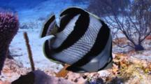 Banded Butterfly Fish Swimming Around A Coral Reef